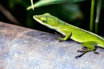 geico, lizard, nature, wildlife, reptile