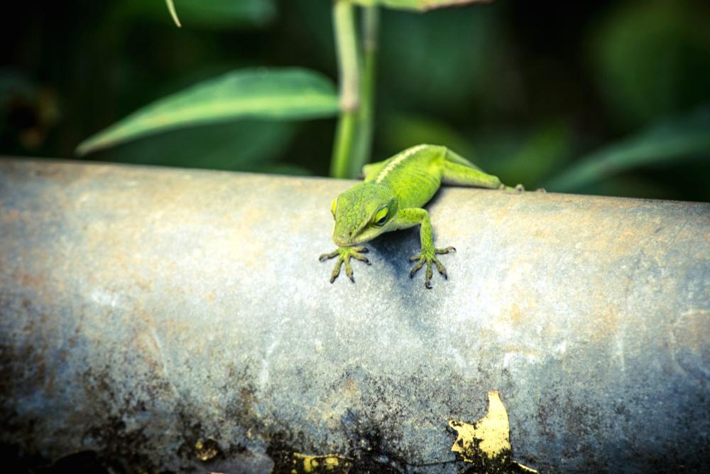 lizard, gree, nature, reptile, animal