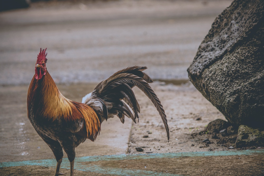 rooster, bird, poultry, animal, chicken