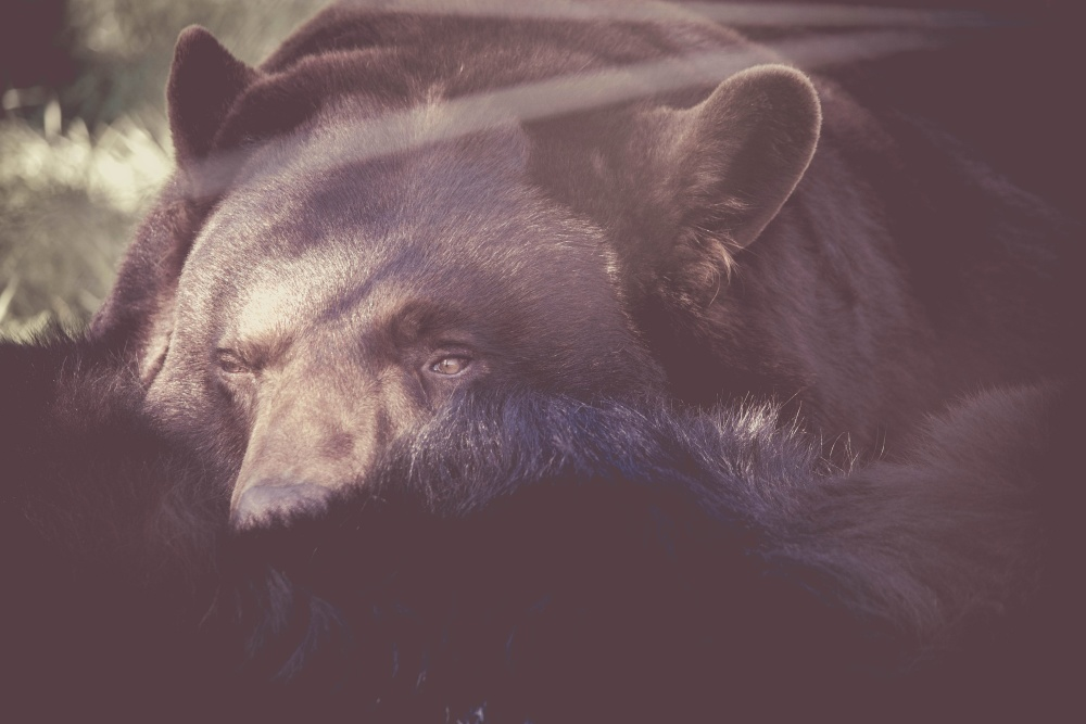 bear, wild, animal, black bear