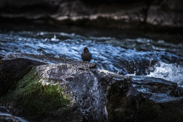 black bird, water, nature, river, dusk