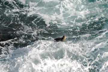 Animal, reptile, tortue, eau, océan, mer