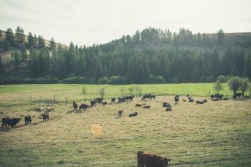 cow, cattle, agriculture, livestock, farm, landscape, grassland, tree, pasture
