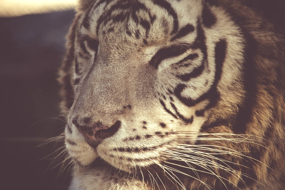 tiger, cat, wildlife, predator, animal, fur, carnivore, hunter, wild, feline