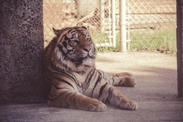 tiger, cat, animal, feline, predator