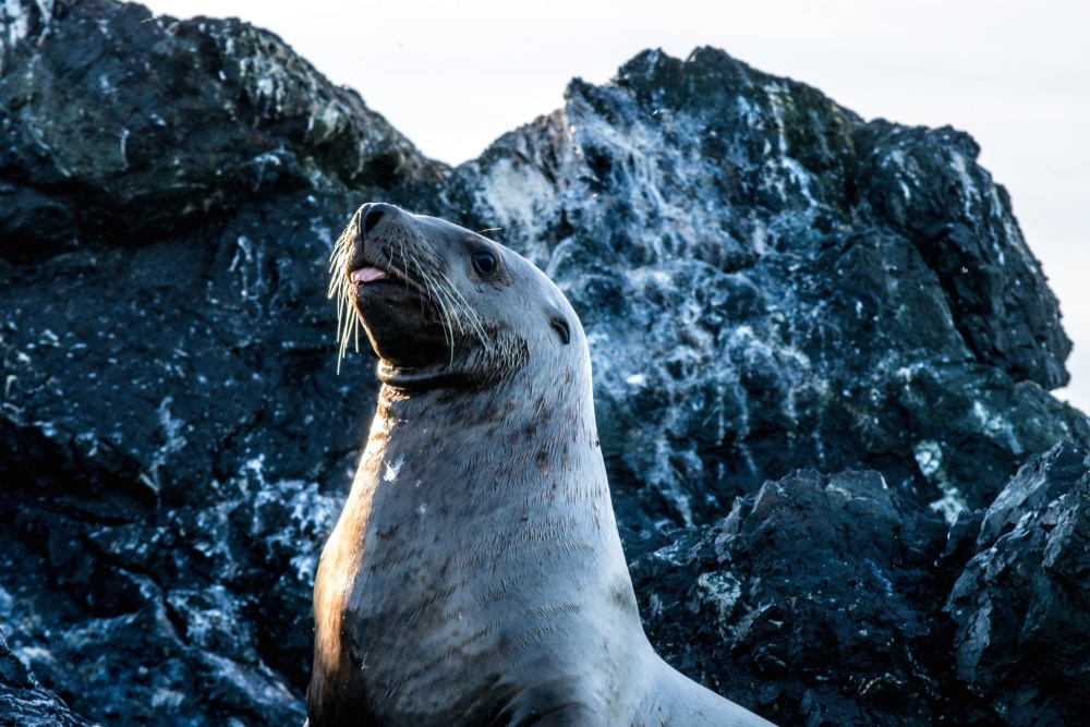Seelöwe, Tier, Pelz, Natur, Ozean, Wasser