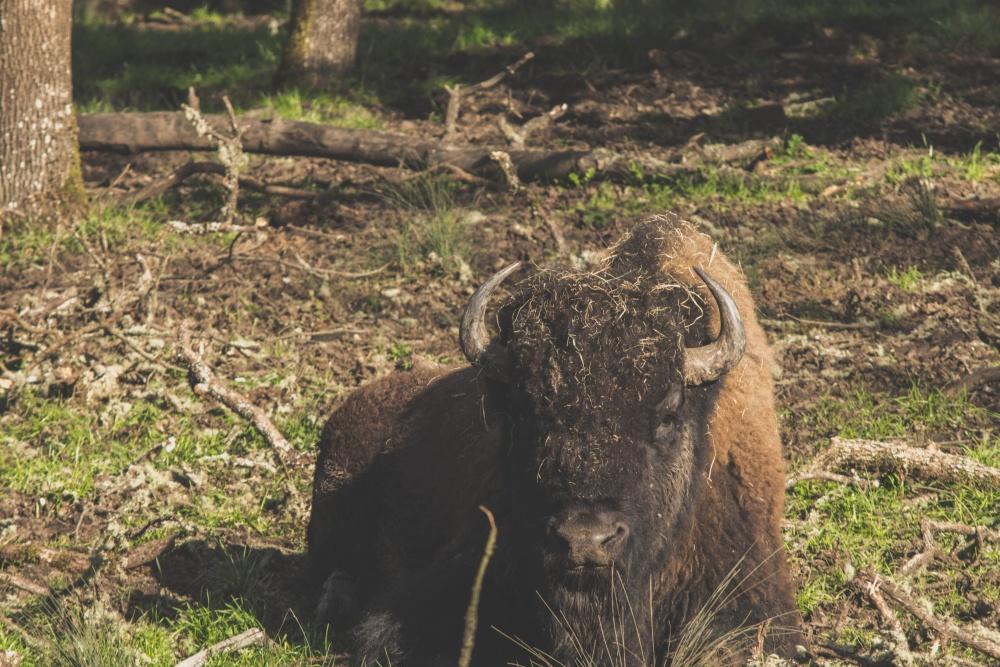 бизони, животни, диви животни, едър рогат добитък, трева