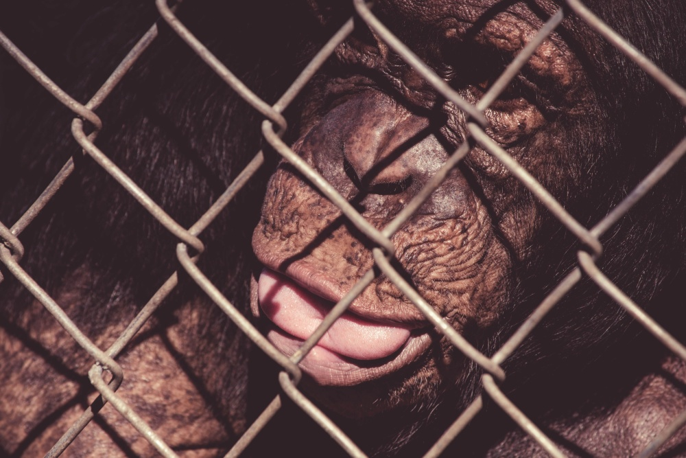 zvíře, opice, klec, plot, zoo