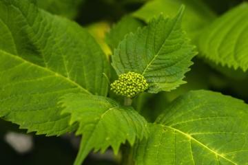 green leaf, nature, flora, plant
