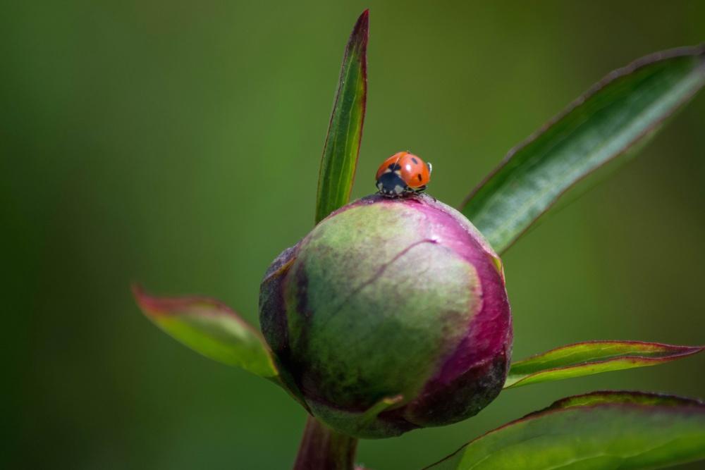 ladybug, nature, leaf, insect, summer, garden, flora