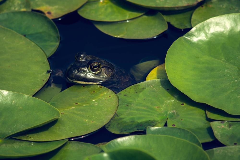 frog, green, leaf, water, nature, lake, lotus, amphibian