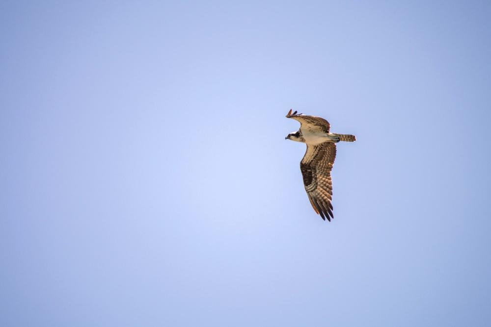 eagle, bird, wildlife, flight, blue sky, animal, hawk