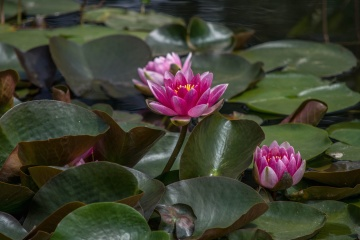 water lily, flower, lotus, flora, leaf, nature, pink, plant, blossom