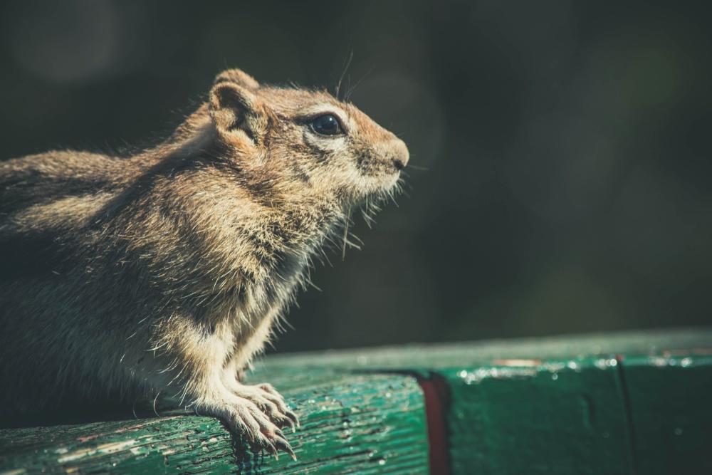 chipmunk, wildlife, rodent, squirrel