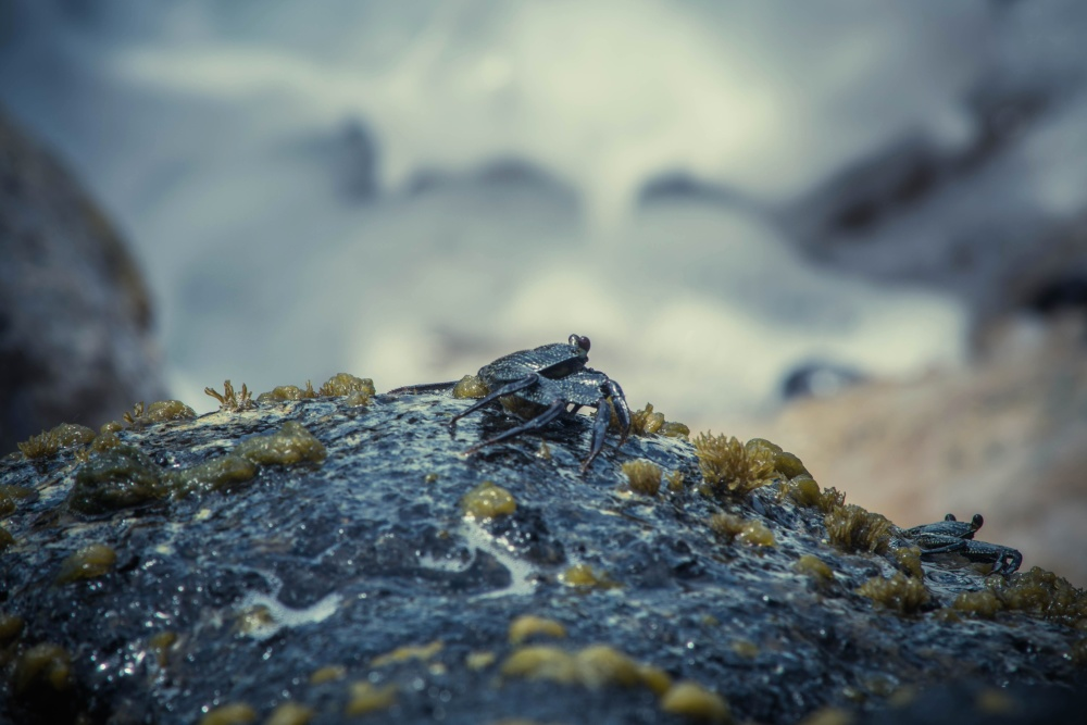 crab, stone, moss, coast, nature, water, sea