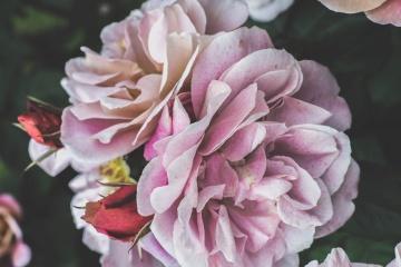 pink, flower, nature, flora, rose, garden, petal, leaf, blossom