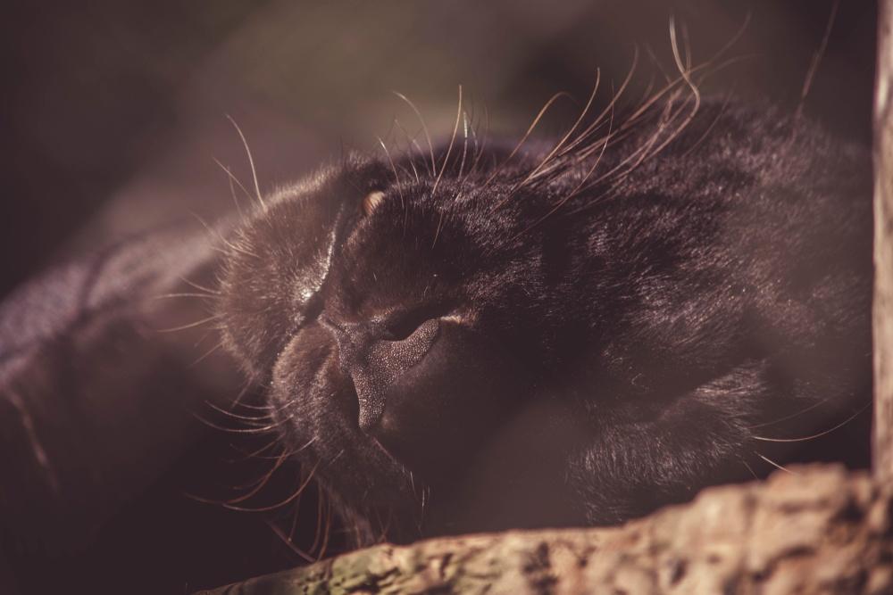 čierny leopard, mačky, portrét, zviera, jaguar