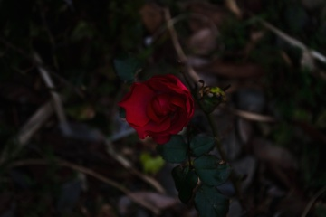 red rose, flower, nature, leaf, flora, shrub, plant