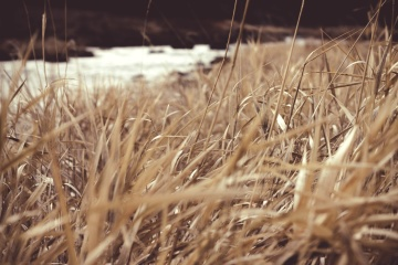 river, grass, straw, wheat, hay, field, nature, pasture, rural, agriculture, plant