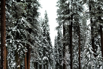 wood, tree, snow, pine, winter, frost, forest