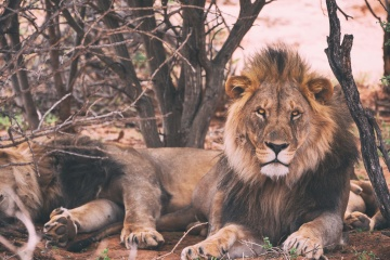 wildlife, Africa, lion, nature, wild, predator