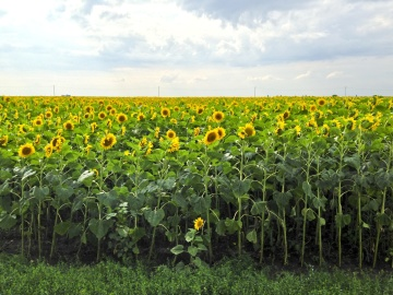 agriculture, field, farm, flora, landscape, rural, sunflower