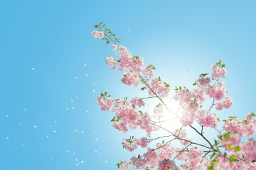 flower, branch, blue sky, herb, nature, cherry tree, color, tree