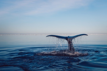whale, animal, water, ocean, nature, sky, landscape