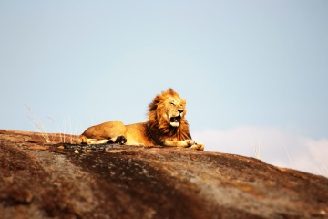lion, Africa, hill, animal, nature, cat, wildlife