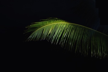 palm leaves, green leaf, darkness