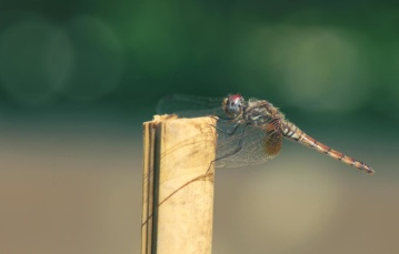 insect, wildlife, nature, dragonfly, arthropod