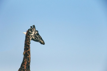 sky, wildlife, nature, giraffe, daylight, animal