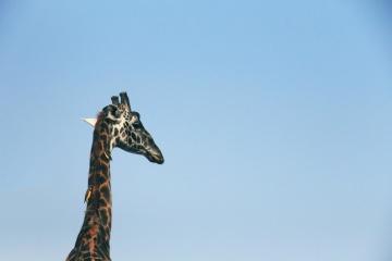 Cielo, fauna selvatica, natura, giraffa, luce del giorno, animale
