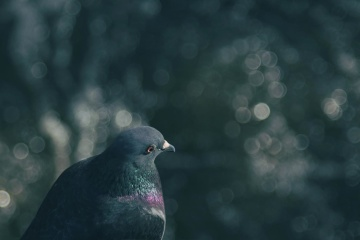 pigeon, bird, nature, pigeon, wildlife