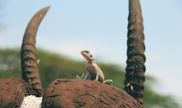 daylight, lizard, nature, reptile, wildlife, desert