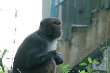 opice, primát, kapucínský, zvíře, město