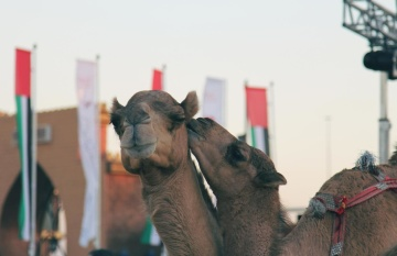 camel, animal, urban, town, street