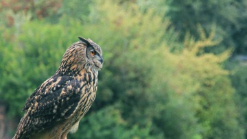 bird, animal, owl, nature, wildlife, wild