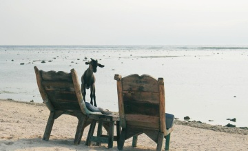 goat, animal, furniture, beach, chair, seashore, water, sea, seat