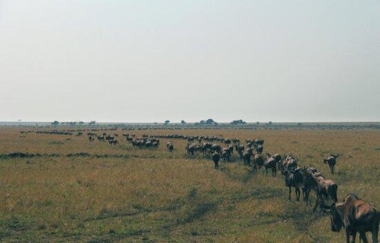 Gnu animales, pastizales, África, migración, hierba, paisaje, tierra, campo