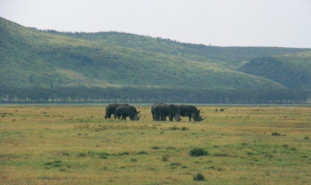 næsehorn, Afrika, felt, dyr, hill