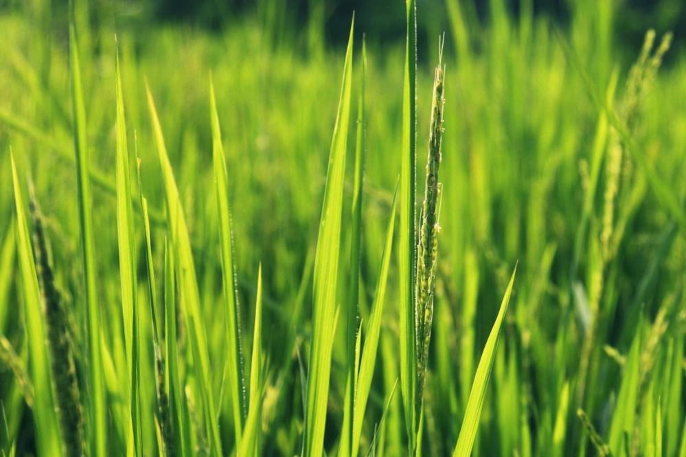 grönt gräs, gräsmatta, flora, fält, grön, landsbygdsutveckling, jordbruk
