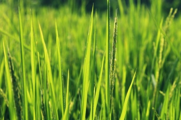 green grass, lawn, flora, field, green, rural, agriculture