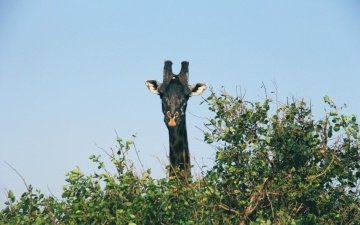 Africa, albero, giraffa, natura, uccello, fauna selvatica, cielo, paesaggio, ambiente, animale