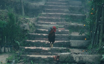 Gallo, animal, pájaro, rural, pollo