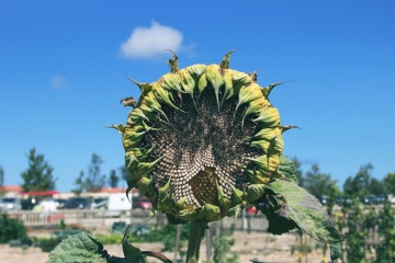sunflower, nature, flora, summer, sky, agriculture