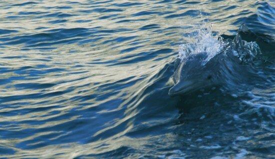 water, wet, wave, ocean, dolphin, animal