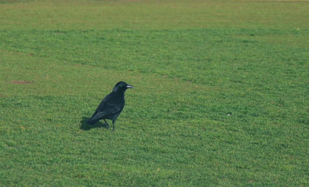 Ворона, Чорний птах, птах, трава, дика природа