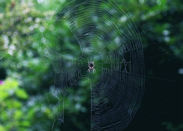 spider, spiderweb, cobweb, insect, animal, metamorphose