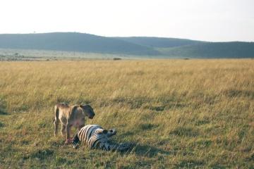 lion, predator, carnivore, zebra, grassland, wildlife, field, landscape, grass